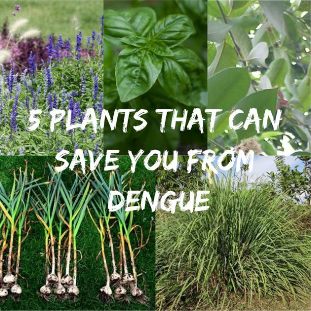 5 Plants That Can Save You From Dengue Panahon Tv